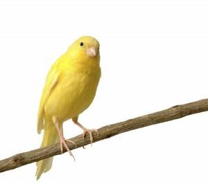 giallocanarino