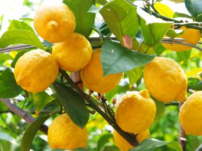 La pianta del limone
